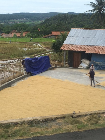 A farmer drying his rice