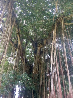 My favorite tropical tree is the banyan tree. It sends down roots from branches and is very cool